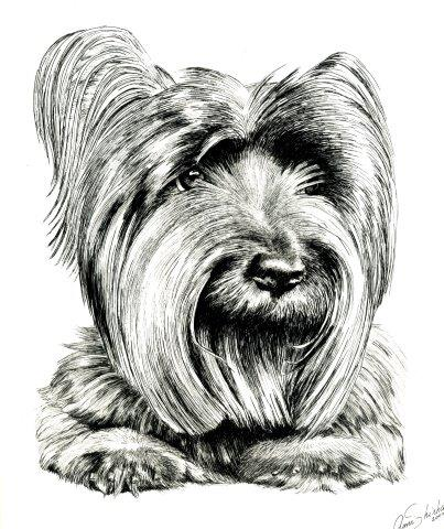 Drawing of Cairn Terrier dog in medium of ink