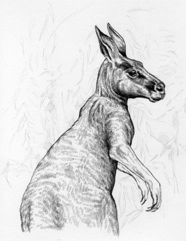 kangaroo black and white ink drawing